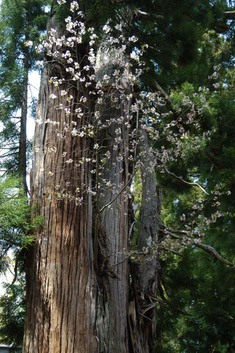 磐椅神社のえんむすび桜