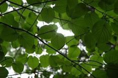 ブナの葉っぱ。