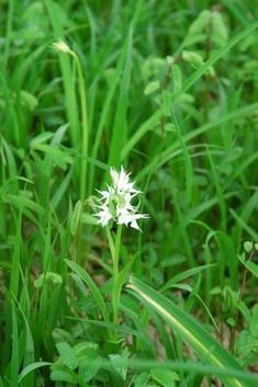 ハクサンチドリ(白花)