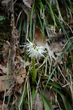 ショウジョウバカマ(白花)